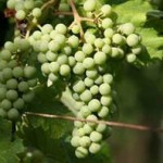grozdje1