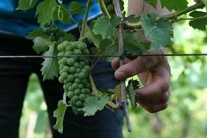 grozdje2